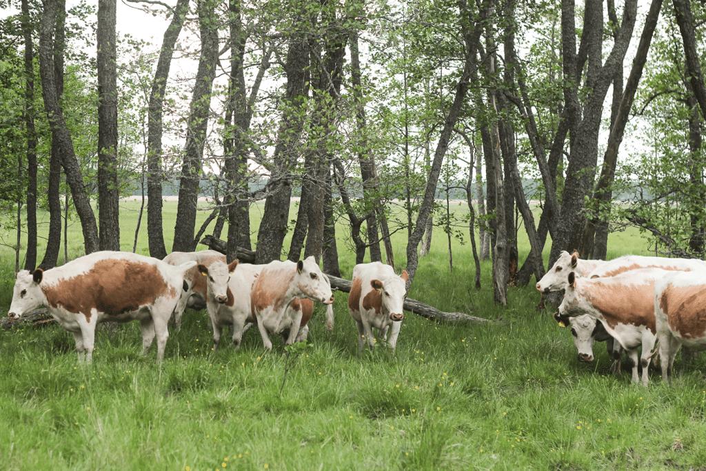 Luonnon-hyvinvointivaikutukset-alkavat-jo-5-minuutissa-lehmät